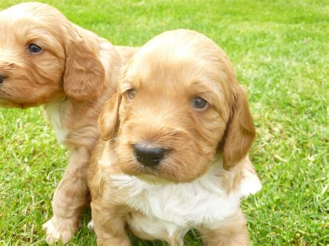 sproodle puppies for sale sproodle puppies for sale norwich norfolk pets4homes