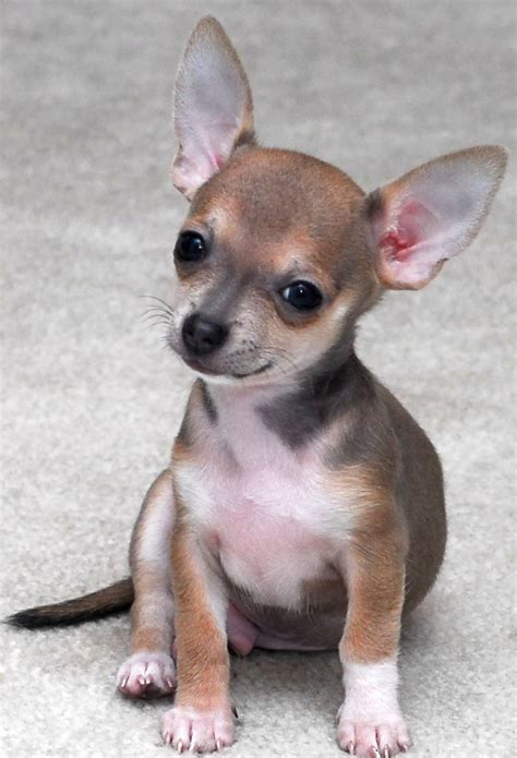 chihuahua puppy names chihuahua sitting on the cushion m5x eu