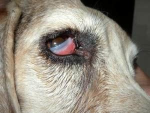 cherry eye treatment cherry eye in dogs symptoms causes treatment cost of surgery pet health