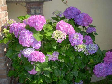 ortensie vaso coltivare l ortensia in vaso garden4us