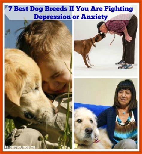 service dogs for anxiety and depression 7 best breeds if you are fighting depression talent hounds