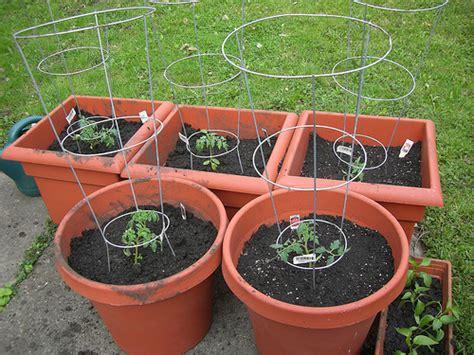 tomato container garden tomato container garden flickr photo
