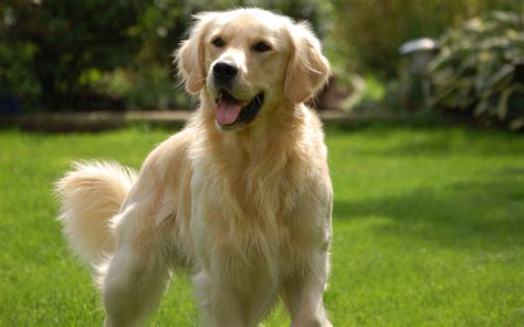 golden retriever wallpaper 89 golden retriever hd wallpapers backgrounds wallpaper abyss