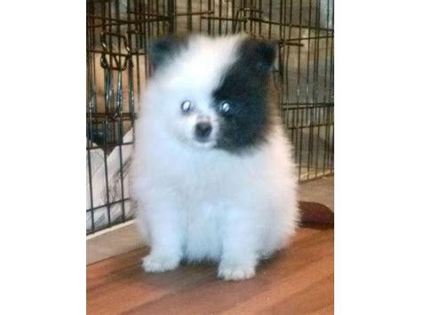teacup pomeranian wiki teacup pomeranian puppies for adoption charming teacup pomeranian puppies for