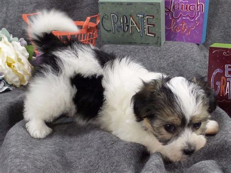 east coast havanese what is a havanese puppies breeds picture