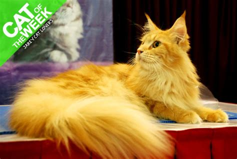 Makanan Anak Kucing Royal Canin Kitten Maine Coon 400gr 301 moved permanently