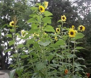 the parsimonious pagans lovely sunflower garden in full bloom