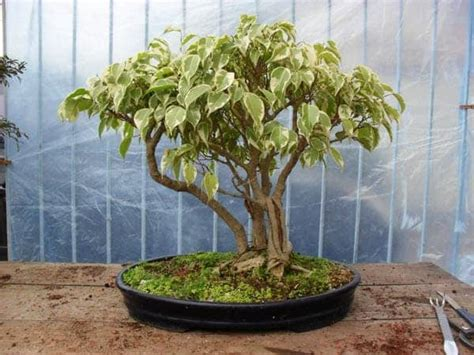 Bibit Bonsai Beringin bakalan bonsai beringin bibit