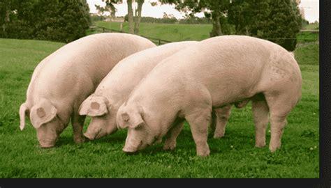 imagenes graciosas de cerdos para navidad qu 233 significa so 241 ar con cerdos