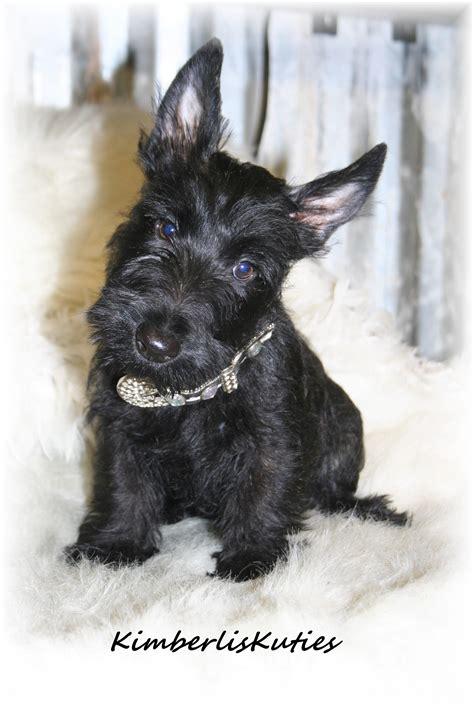 scottish yorkie shih tzu scottish terrier breeders teacup puppies yorkie breeds picture