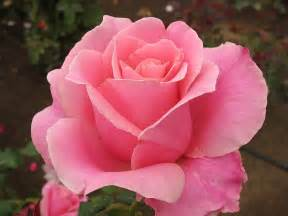 color rosa lifting hearts almost wordless wednesday pink