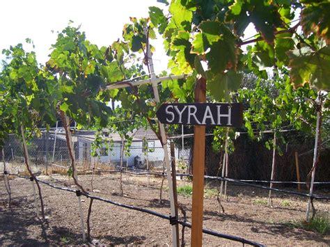syrah section of my backyard vineyard backyard vineyard