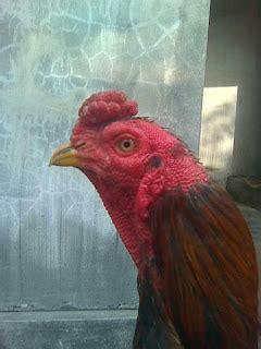 100 Cara Mengenali Karakter Dia cara cepat mengenali karakter tarung seekor ayam petarung