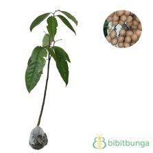 Biji Benih Tanaman Buah Indian Jujube tanaman lobi lobi