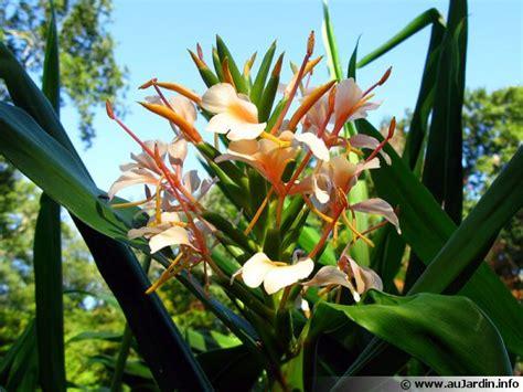 Cultiver Du Gingembre En Pot by Planter Du Gingembre Gingembre Hedychium Agrandir