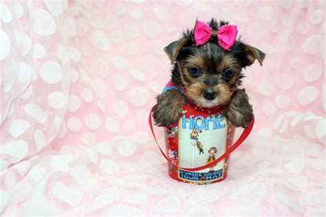 yorkie puppies in puppies images tiny yorkie puppy by staryorkie hd wallpaper and background photos