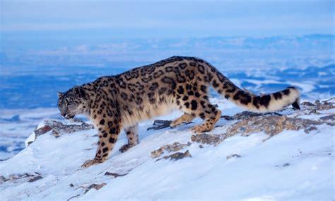 picture of snow snow leopard pictures weneedfun