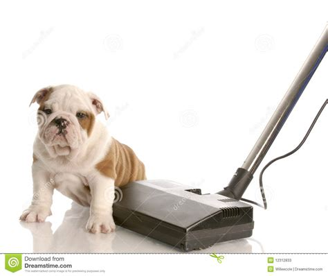 clean dog hair off couch vacuuming up after a new puppy stock photos image 12312833