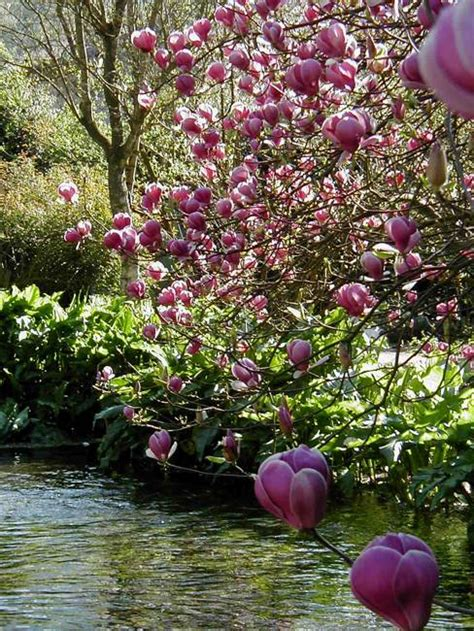Magnolia Garden Nursery by Gardens With Magnolia Trees 25 Healing Backyard Ideas To Feng Shui Homes