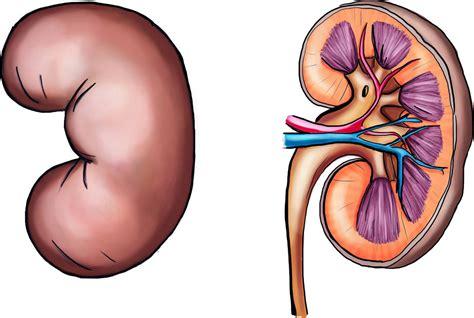 wo liegen die nieren bilder niere und haut als ausscheidungsorgane lernen