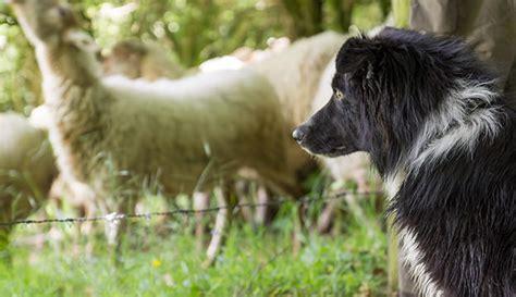 how to herding dogs sheep herding germanshepherds 179 1