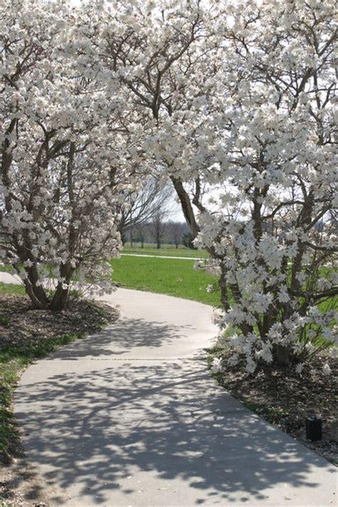 magnolia stellata magnolia traditional