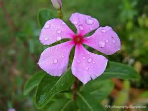 catharanthus roseus madagascar periwinkle nature cultural and travel photography blog