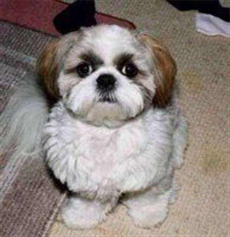 shih tzu spine problems shih tzu shih tzu puppy available shih tzu