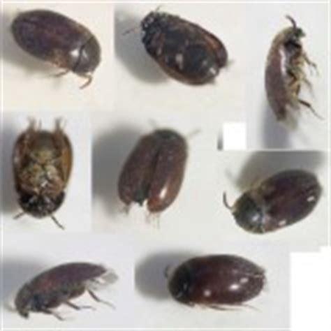 k fer in der wohnung bestimmen k 228 fer in wohnung gt attagenus cf smirnovi coleoptera