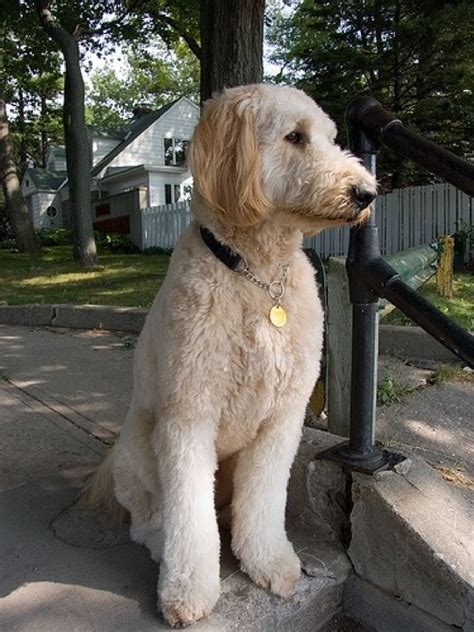 goldendoodle haircut styles goldendoodles on goldendoodle doodles and
