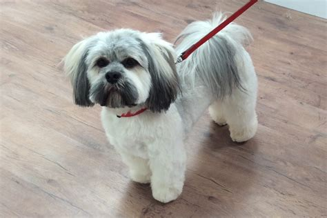 Lhasa Apso Shedding by Lhasa Apso Grooming Pictures Breeds Picture