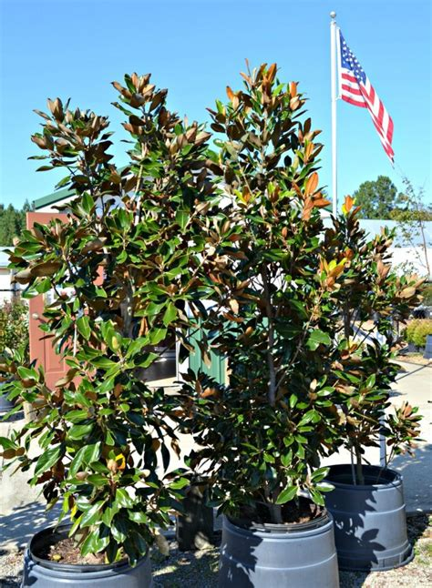 why does my little grem magnolia have dark brown leaves small trees for the landscape fairview garden center
