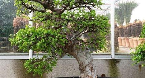 tipi di bonsai da interno tipi di bonsai bonsai scegliere i bonsai