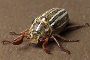 ten lined june beetle wikipedia