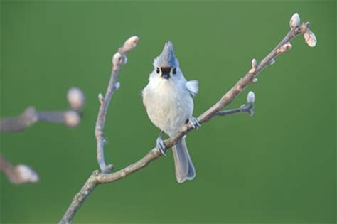 wild birds unlimited titmouse song