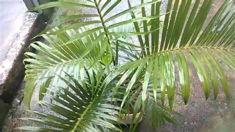 15 Benih Bunga Palmeira Areca Bambu aduba 231 227 o de areca bambu em vaso