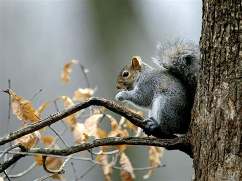 squirrels squirrel pictures squirrel facts national