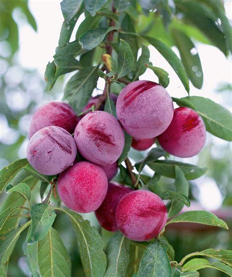 japanese plum tree fruit santa rosa weeping japanese plum