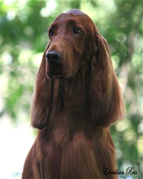 irish setter dogs for sale australia pendoric irish setters melbourne victoria australia