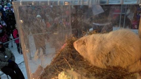 groundhog day ontario wiarton willie predicts early for canada on