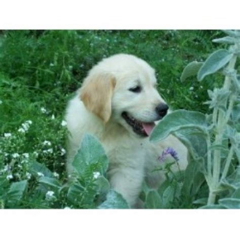 golden retriever puppies ontario golden retriever breeders ontario www proteckmachinery