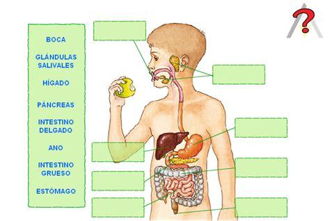 aparato digestivo aparato locomotor musculatura sistema digestivo pictures