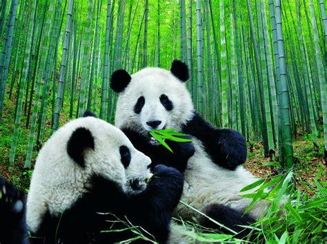 imagenes de hermosos osos imagenes osos panda hermosa fotografia de osos panda 20