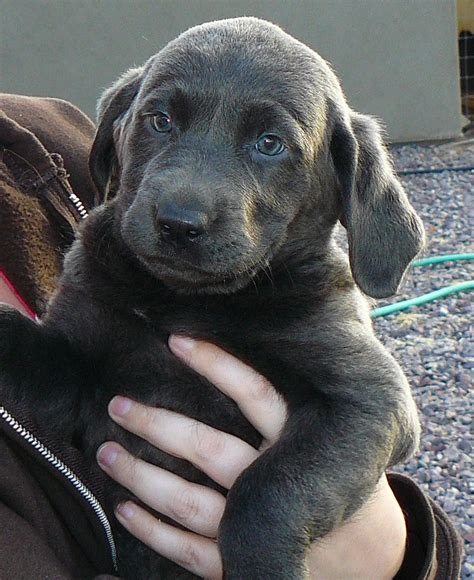 silver lab puppies for sale mn silver valley kennels silver and charcoal gray labrador retrievers silver lab