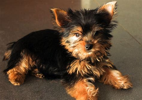 caring for yorkies how to take care of a yorkie puppy pets world