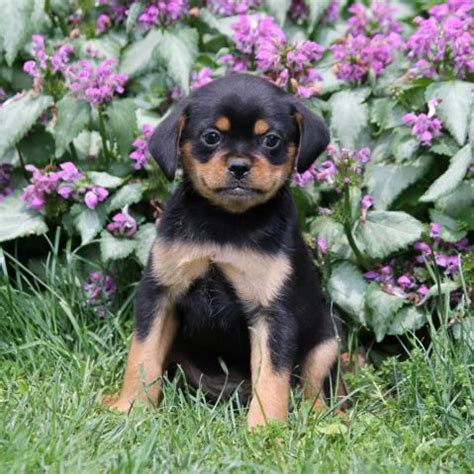 mini rottweiler puppies for sale in pa adorable mini rottweiler puppies craigspets