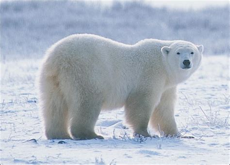 Lukisan Hewan Real urso polar vs tigre siberiano
