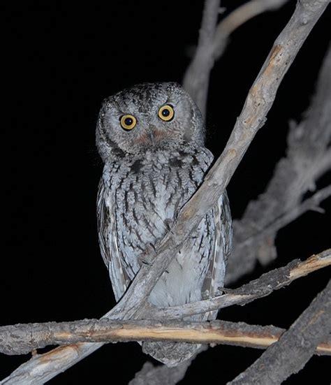 western screech owl photo gallery by birds of colorado at