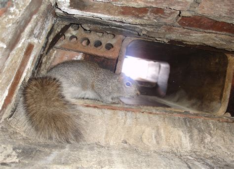 how to get rid of squirrels in house how to get rid of flying squirrels in your house pest control plug in wall