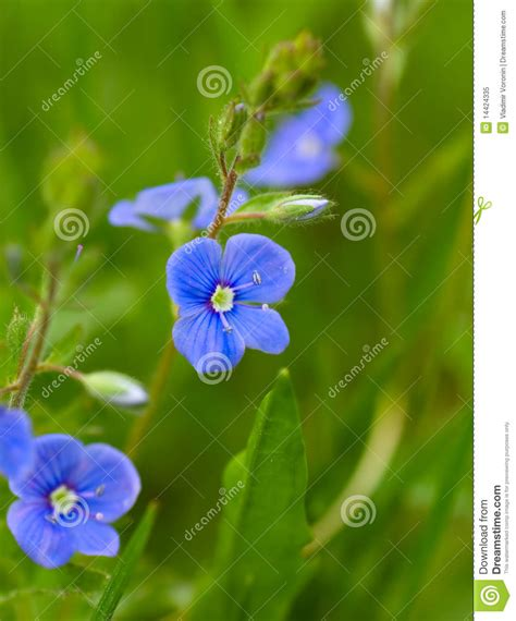 Macro Me - forget me not macro royalty free stock photo image 14424335